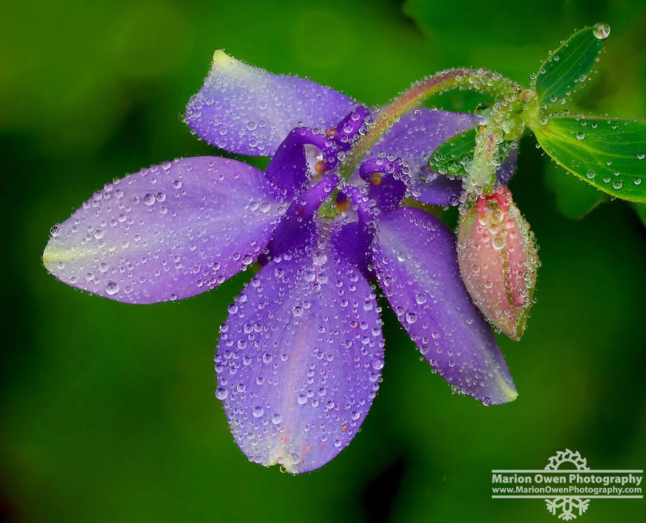 Columbine blooming in Kodiak, Alaska garden