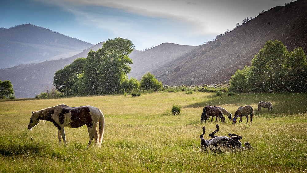 Horse Rolling in the Rain, CM Ranch Wyoming