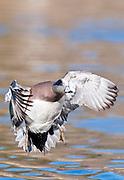 American Wigeon, Anas americana, male, Socorro, New Mexico