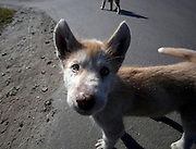 Sisimiut, the second largest town in Greenland Husky puppies in Sisimiut, Greenland