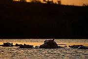 Herd of Common Hippopotamus ( Hippopotamus amphibius) in crocodile river