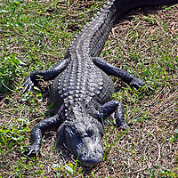 American Alligator, Everglades , Florida, USA....Photograph taken looking down from the Shark River Slough observation tower.