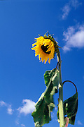 THIS PHOTO IS AVAILABLE FOR WEB DOWNLOAD ONLY. PLEASE CONTACT US FOR A LARGER PHOTO. Idaho. Bright sunflower against a blue sky.