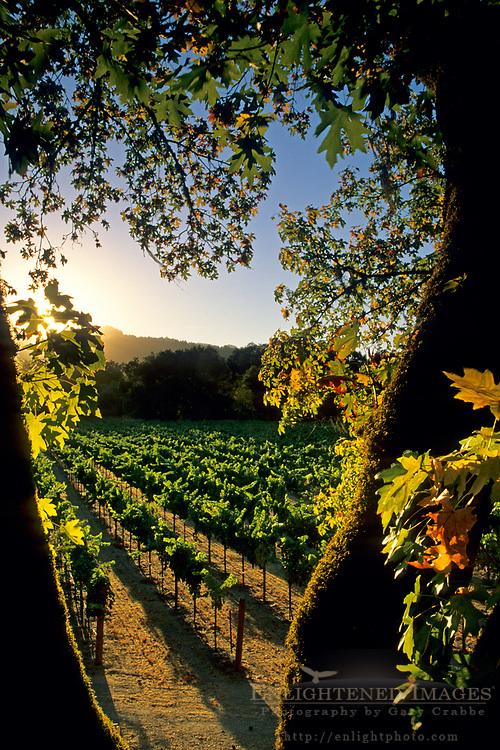 Sunset over vineyard along the Silverado Trail, Napa Valley, Napa County, CALIFORNIA
