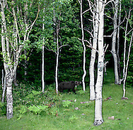 Wild brown bear, that has been fitted with a radio collar, browses through a stand of white birch trees within the Shiretoko National Park, an UNESCO World Heritage Site, Hokkaido, Japan.  There are an estimated 200 brown bears in the park.