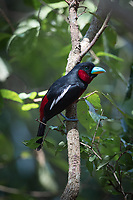 The black-and-red broadbill (Cymbirhynchus macrorhynchos) is a species of bird in the broadbill family. It is monotypic within the genus Cymbirhynchus.