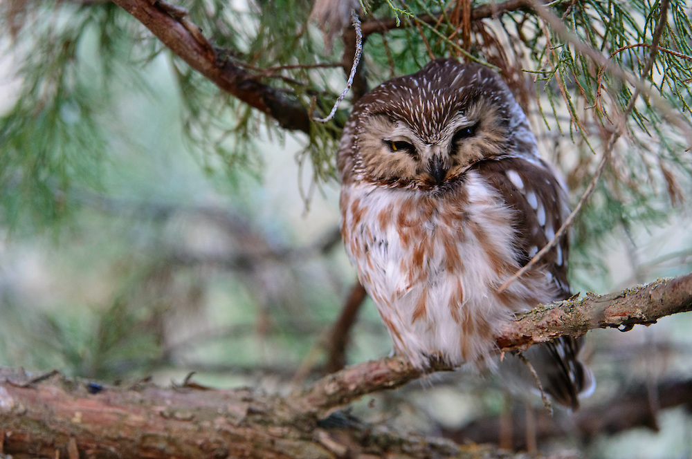 Northern Saw-whet Owl, Missoula, Montana