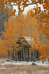 """Shack in the Aspens 3"" - Photograph of yellow leaved aspens and an old shack near the summit of Hwy 267 in Tahoe. Shot in the fall while it was snowing."