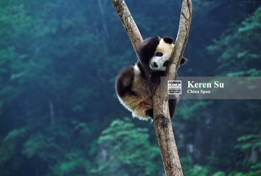 Giant Panda cub on tree, Wolong, Sichuan, China