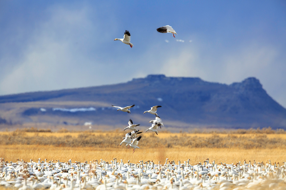 Snow Geese landing near Freezeout Lake, Montana