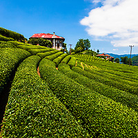 Farm in tea field of Rize province