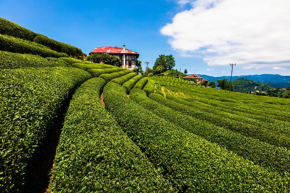 Farm in tea field of Rize province