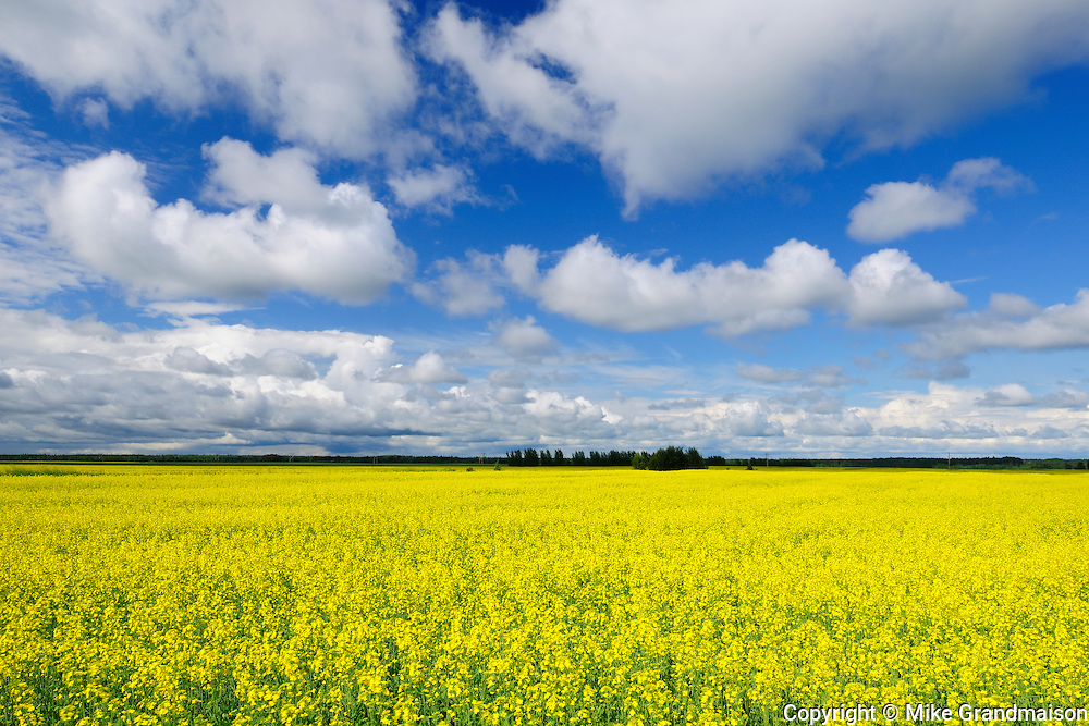 Canola and clouds<br /> La Dore<br /> Quebec<br /> Canada