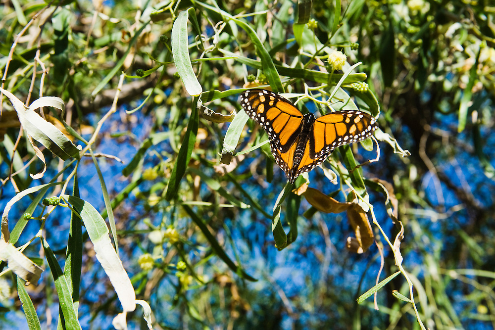 A Monarch Butterfly perched on a tree, Phoenix, Arizona, USA.