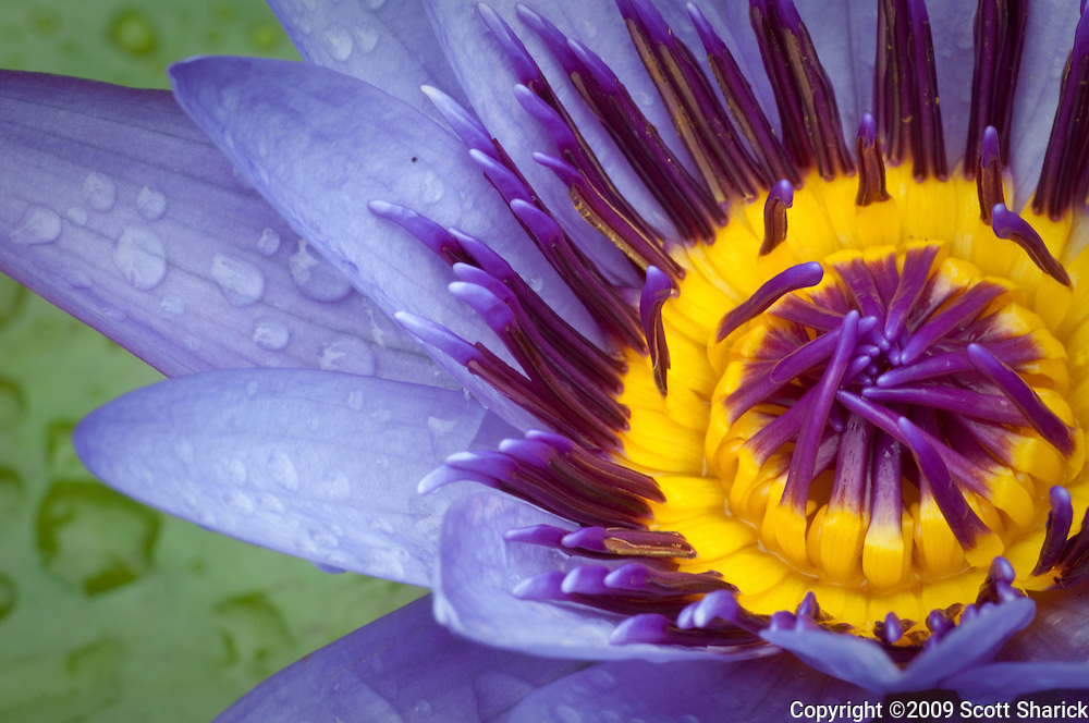 A purple and yellow water lily.