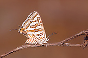The Tawny Silverline, Apharitis acamus is a species of lycaenid or blue butterfly found in Asia and North Africa.