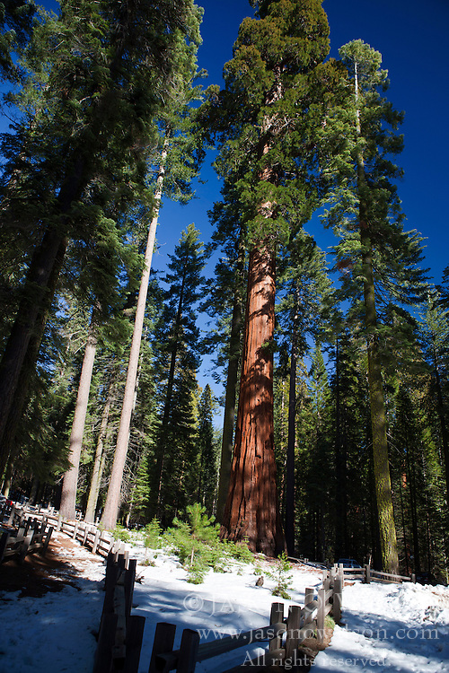 Redwood trees in Mariposa Grove, Yosemite National Park, California, United States of America