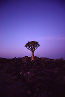 A quiver tree is a type of Aloe. Kokerboomwood, Namibia, southern Africa.