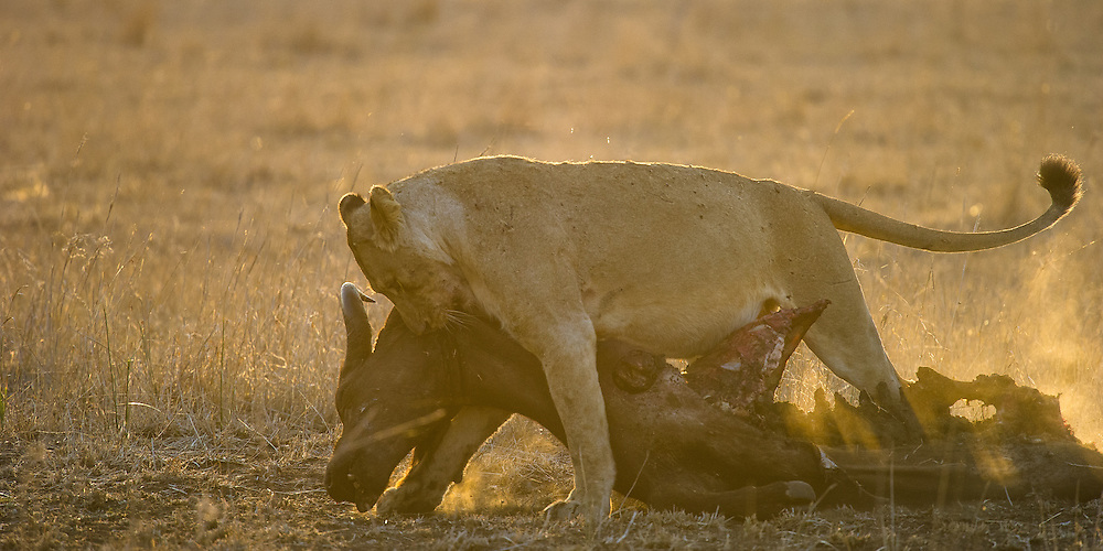 African lioness (Panthera leo) draging the carcass of a buffalo which she killed yesterday to a sheltered spot