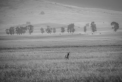 A lone Pronghorn