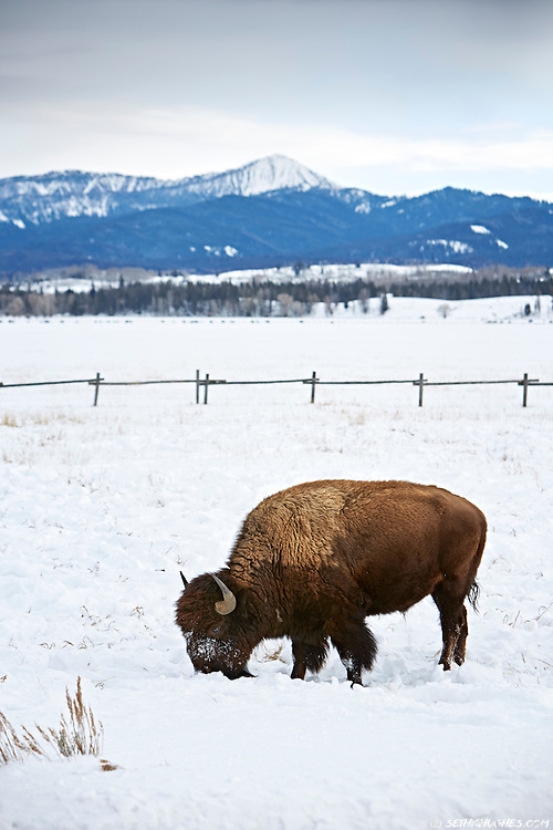 Bison; grazing; winter; Grand Teton National Park; Wyoming