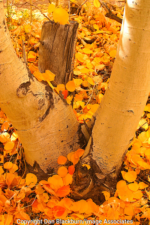 Orange aspen leaves at the base of aspen trees in the Eastern Sierra of California.