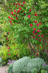 Rosa 'Crimson Conquest' growing through lilac tree