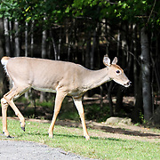 White-tailed Deer walking at the edge of a woods, Rifle Camp Park; Garret Mountain, New Jersey
