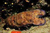 European Paddle-nosed Lobster (Scyllarides latus), Gozo, Maltese Islands