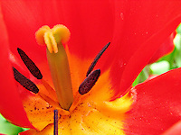 Red tulip with yellow stamen