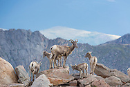 This is a Family of Bighorn Sheep standing on the cliffs around Mount Evans in Colorado.<br />