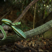 Vogel's Pit Viper (Trimeresurus vogeli) male in Khao Yai national park, Thailand