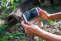 Taking cell-phone pictures of an immobilised African Elephant, Phinda private Game Reserve, KwaZulu Natal, South Africa