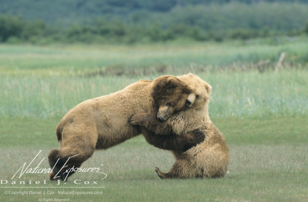 Alaskan Brown Bear (Ursus middendorff) adult and a young female playing. Katmai National Park, Alaska
