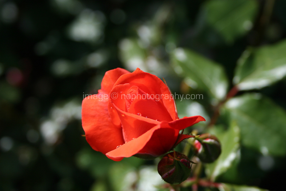 A red rose growing in a garden