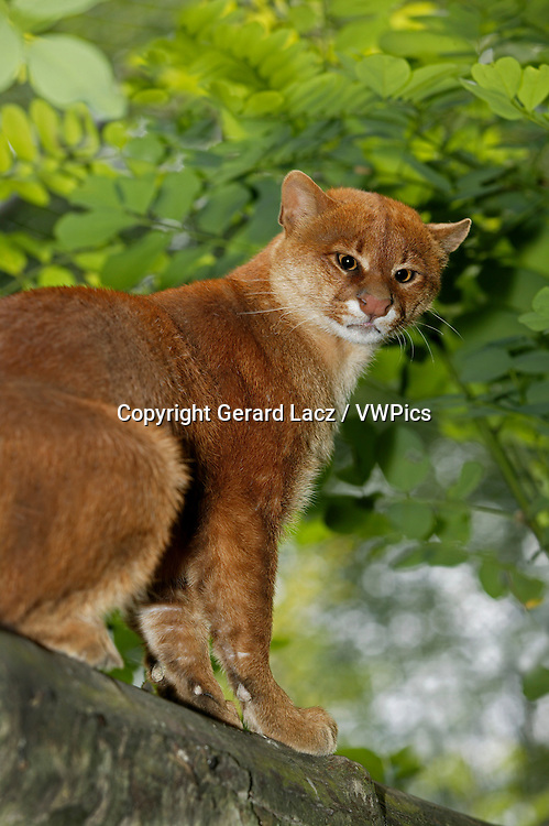 Jaguarundi, herpailurus yaguarondi, Adult sitting on Branch