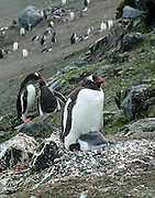 """A Gentoo Penguin (Pygoscelis papua) roosts on a stone nest with chick on Aicho Island, Antarctica. An adult Gentoo Penguin has a bright orange-red bill and a wide white stripe extending across the top of its head. Chicks have grey backs with white fronts. Of all penguins, Gentoos have the most prominent tail, which sweeps from side to side as they waddle on land, hence the scientific name Pygoscelis, """"rump-tailed."""" As the the third largest species of penguin, adult Gentoos reach 51 to 90 cm (20-36 in) high. They are the fastest underwater swimming penguin, reaching speeds of 36 km per hour."""