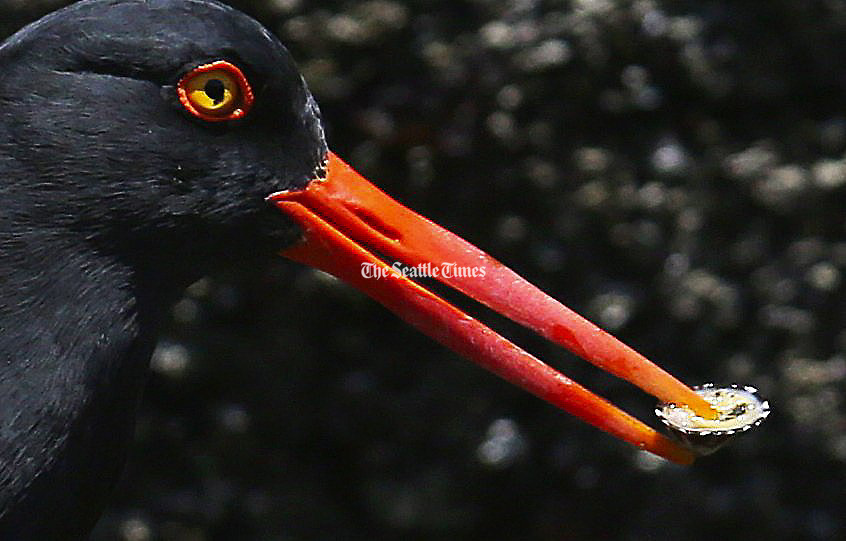 An oystercatcher holds a limpet it found as it walked along a rock in Chuckanut Bay near Bellingham. <br />