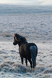 © Licensed to London News Pictures. 14/12/2018. Builth Wells, UK. Welsh Mountain Ponies graze in a wintry landscape where temperatures dropped to minus 3.5 degrees centigrade last night on the Mynydd Epynt moorland at approximately 400 metres above sea level near Builth Wells in Powys, Wales, UK. Photo credit: Graham M. Lawrence/LNP