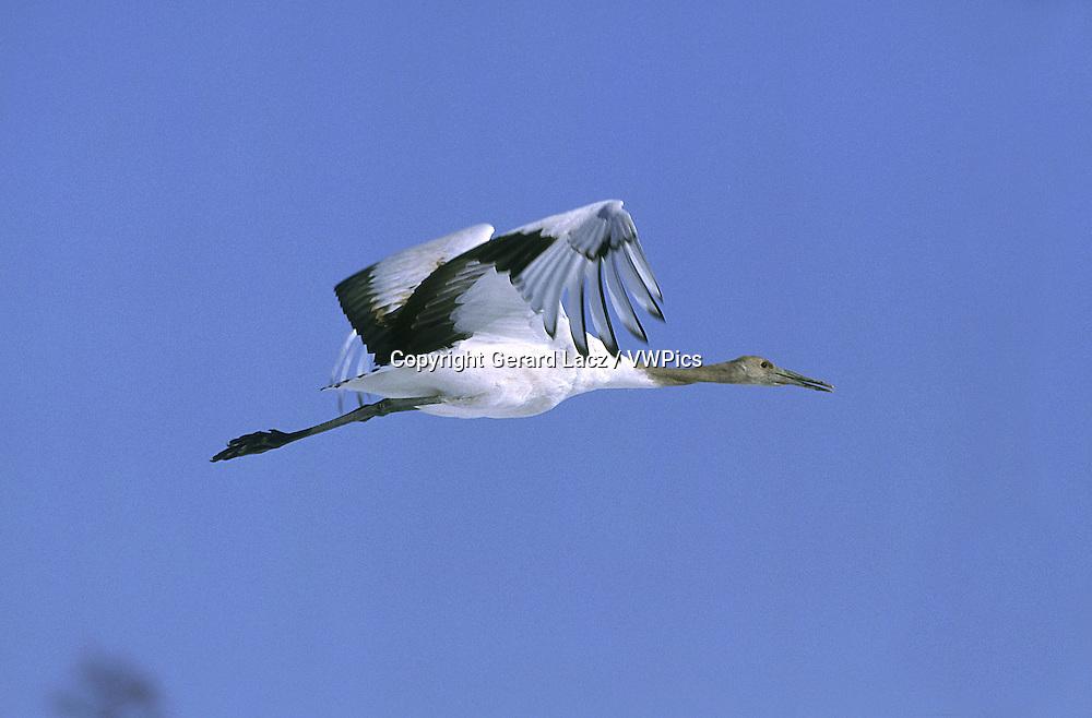 Japanese Cranes ( grus japonensis ) in Hokkaido (Japan)