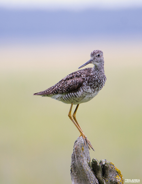 An Alaska yellowlegs perches on driftwood.