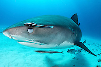 A Tiger Shark partially closes its nictating membrane to protect its eye while making a particularly close pass. <br /> <br /> Shot in Bahamas