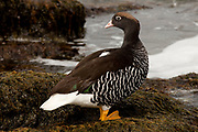 Kelp goose, ( female) , Bluff Cove, Falkland Islands
