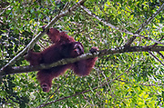 Big, male orangutan in the canopy of the raiforest in Danum Valley, Sabah, Borneo.