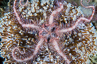 Brittle Star on Soft Coral<br /> <br /> Shot in Indonesia