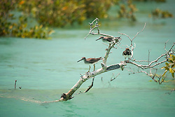 Shorebirds sit on a mangrove in Dampier Creek, Roebuck Bay, Broome.