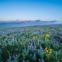 lupine meadow blackfeet reservation glacier national park background