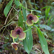Orchid (Telipogon species). Wayqecha Biological Reserve on the Eastern slopes of the Peruvian Andes. Cloud forest at 2950 meters elevation. The reserve is managed by the Amazon Conservation Association and the Asociación para la Conservación de la Cuenca Amazónica.