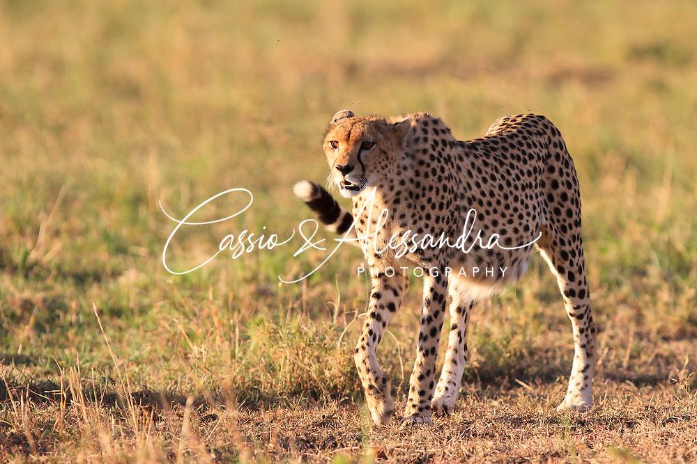 Kenya - Maasai Mara - Cheetah - Acinonyx jubatus -