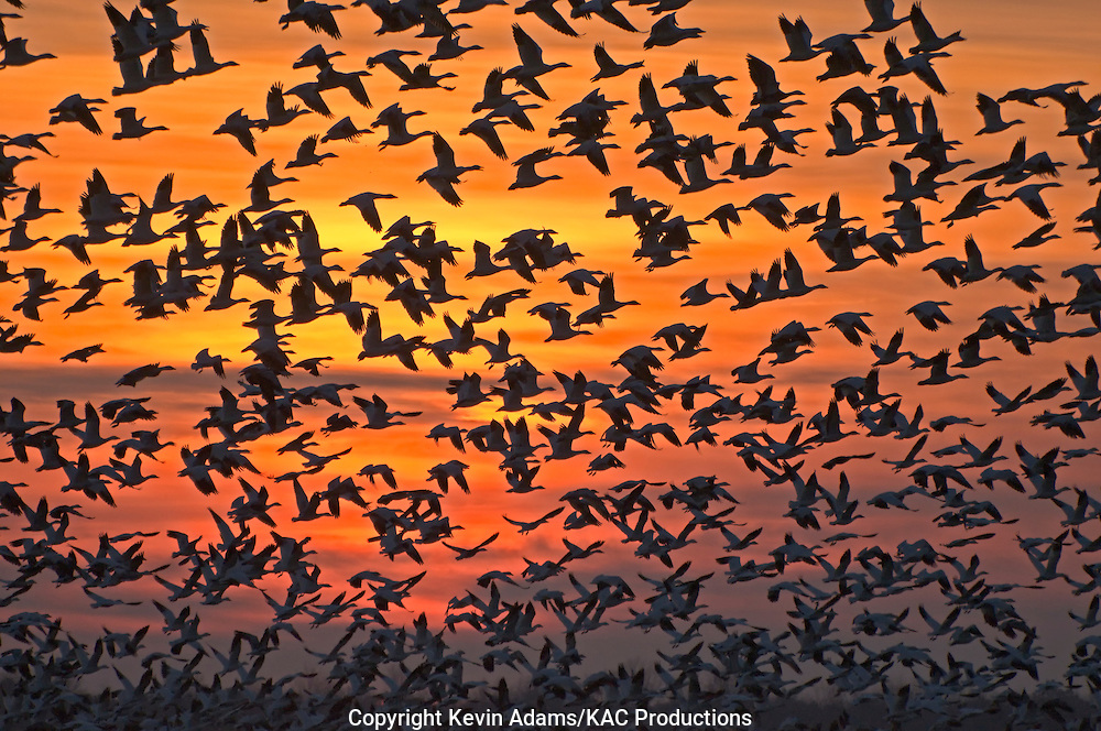 Snow geese (Chen caerulescens) at sunset, at the Pungo unit of Pocosin Lakes National Wildlife Refuge in eastern North Carolina.